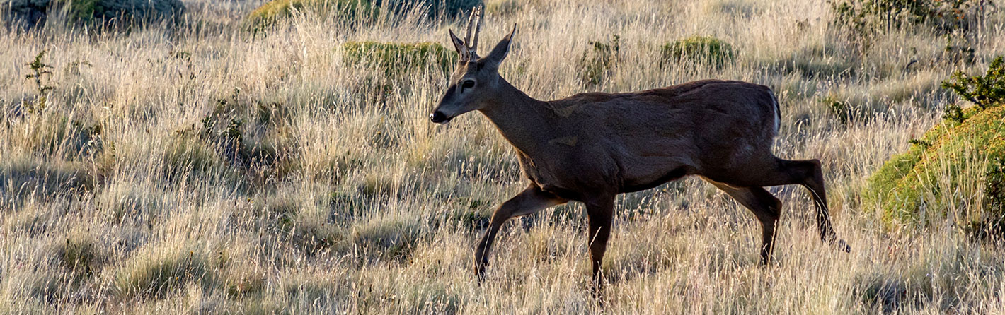 LATAM helps in the preservation of South Andean deer
